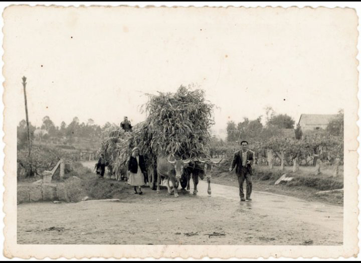 Faenas agrícolas: carro de millo. / Autor descoñecido [1940-1970 (?)] / PROCEDENCIA: Recollida Budiño. Album familiar Mª Carmen Lemos Domínguez