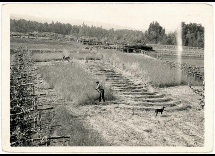 Faenas agrícolas: a sega. / Autor descoñecido [1960-1970 (?)] / PROCEDENCIA: Recollida Budiño. Album familiar Benita Ramilo Pichel